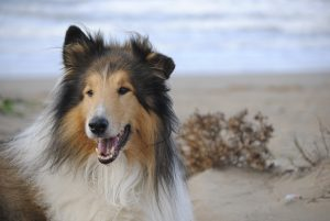 Lassie, Rough Collie, Collie, Langhaar Collie