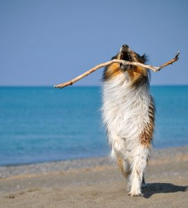collie on the beach, playing collie, Lassie, dog on the beach, cane in spiaggia, pastor scozzese, mare, Meer, Hund am Meer, spielender Hund, apportierender Hund, dog, best dog race,